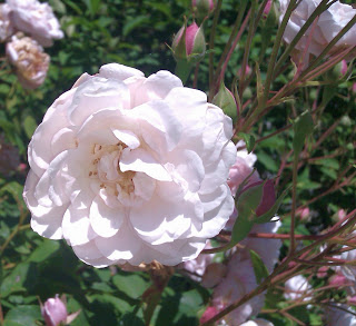 Rose Blush Noisette auf der Roseninsel Starnberger See