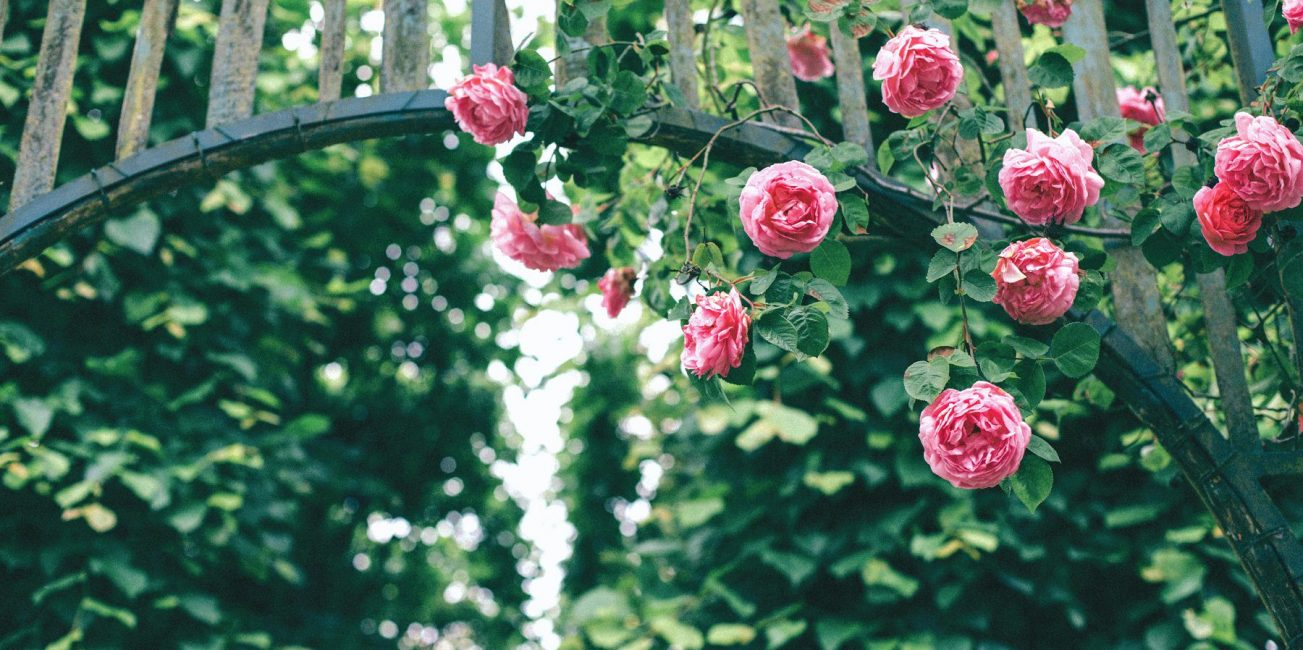 Kletterrose - Foto: Colin via Unsplash